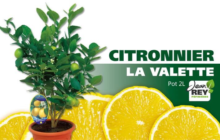VEGETALIS-Citronnier-Image-Actu