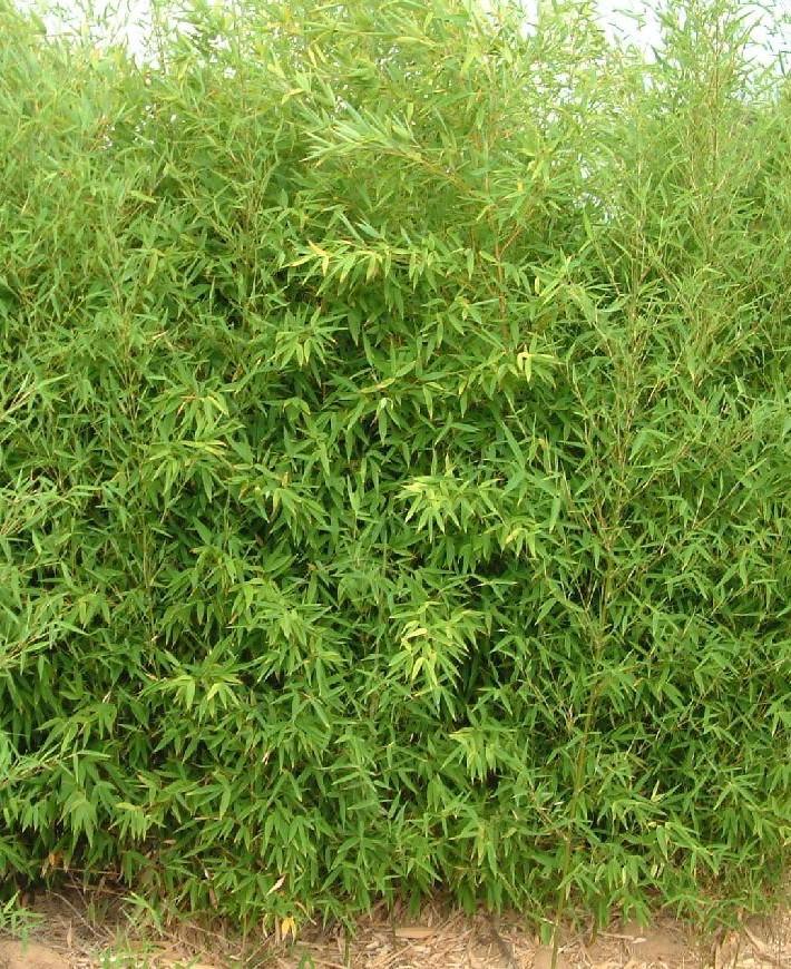 Le bambou doré