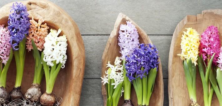 jacinthe vegetalis