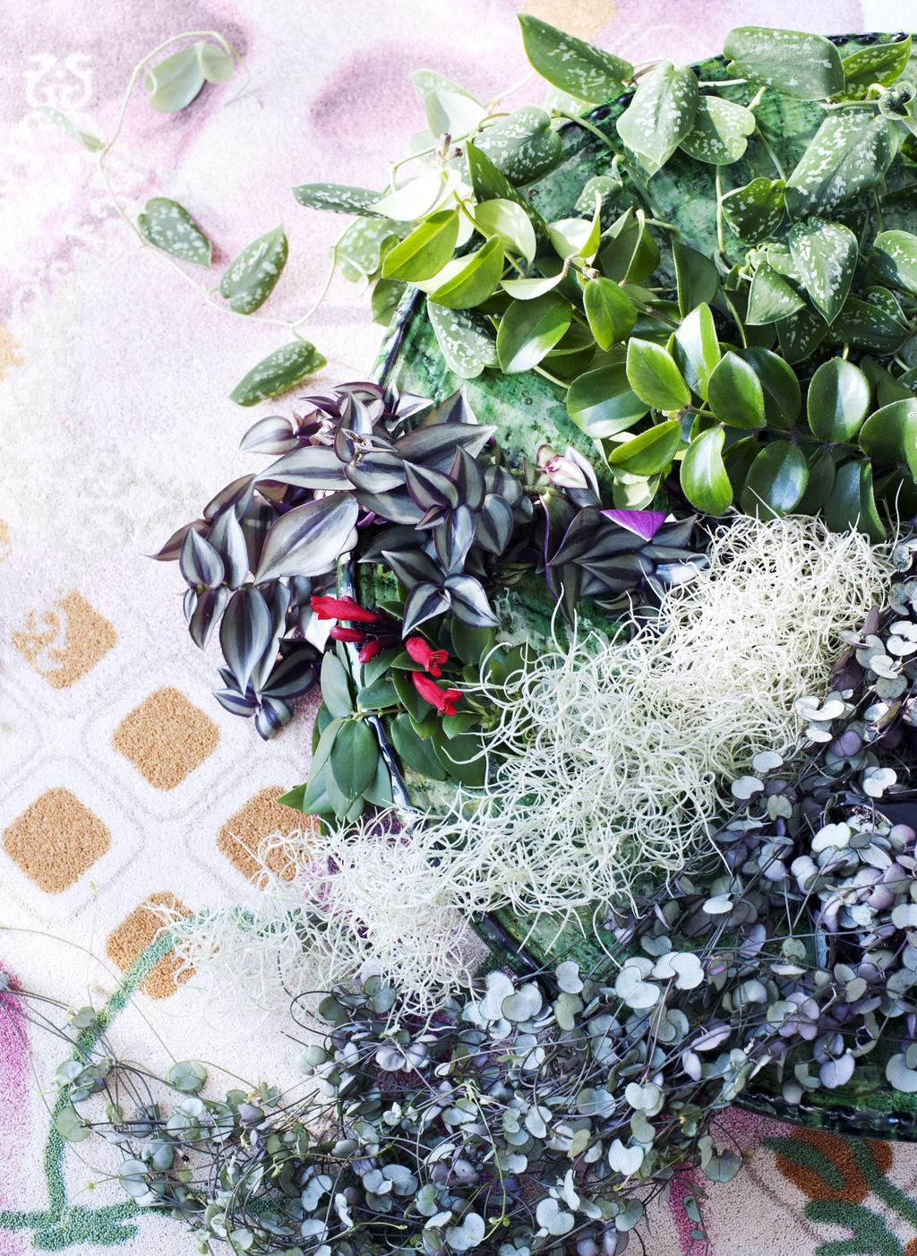 plante retombante plein soleil cheap plante retombante plein soleil with plante retombante. Black Bedroom Furniture Sets. Home Design Ideas