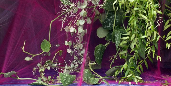 Les plantes retombantes vegetalis for Plantes vertes retombantes