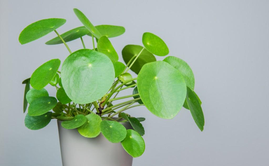 Pilea Peperomioides vegetalis