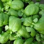 basilic vegetalis