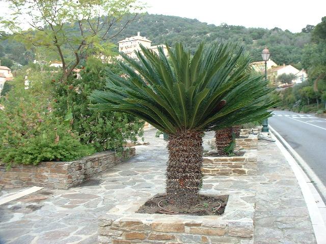 cycas revoluta vegetalis