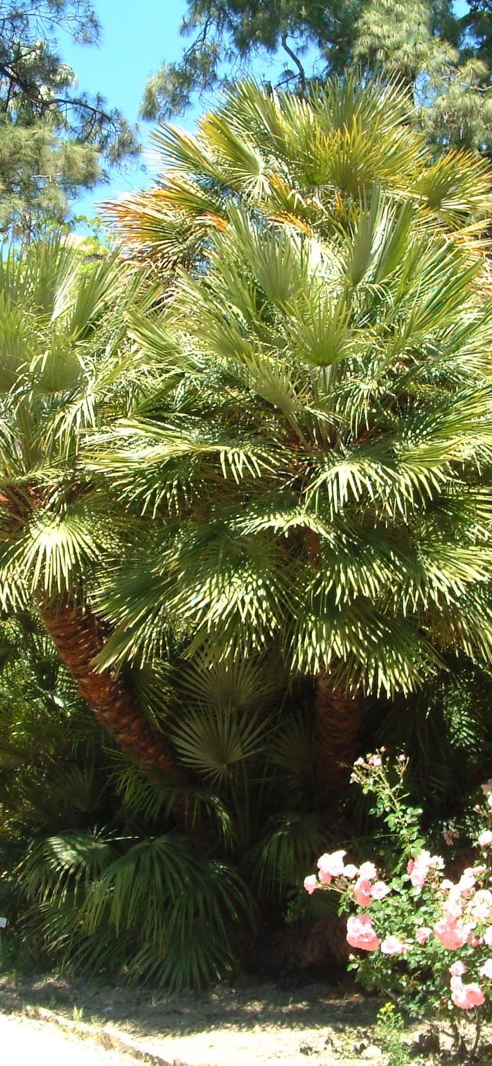 Palmiers vegetalis