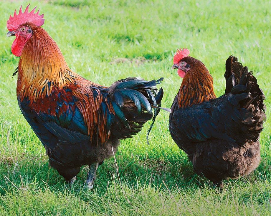 marans-noir-cuivre-poule-pondeuse-oeufs-d-or-marron-coq-reproducteur