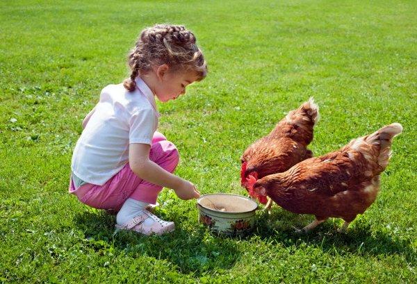 region-de-pont-a-mousson-adopter-une-poule-composteuse-une-poule-pondeuse-peut-picorer-150-kg-de-dechets-par-an