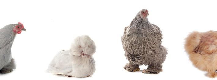 poules vegetalis