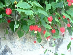 Abutilon megapotamicum : une longue floraison en forme de lanterne.