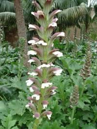 Acanthus mollis : hampe florale.