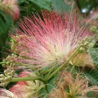 L'arbre à soie tient son nom populaire de la forme de ses belles fleurs aux longues étamines colorées.