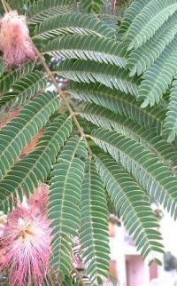 La feuille de l'albizia est très proche de celle du mimosa d'hiver.