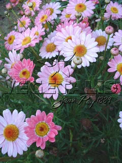 anthemis frutescens - vegetalis