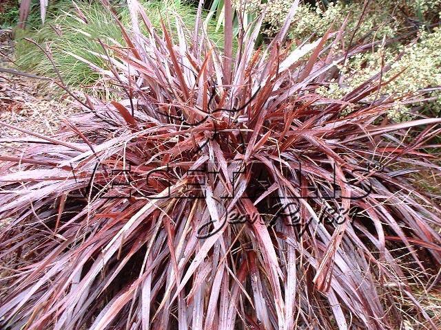 Cordylines vegetalis - Cordyline feuilles qui jaunissent ...