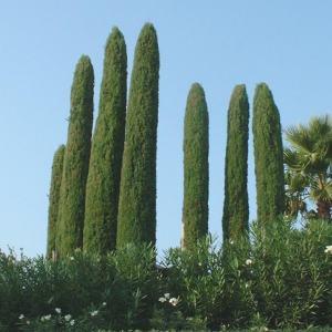 Cupressus sempervirens vegetalis - Cypres de florence totem ...
