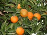 Oranger amer.