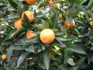Oranger 'Hamelin'.