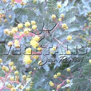 Acacia baileyana : feuillage bleuté.