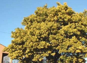 Acacia dealbata sp. : pleine floraison en janvier.