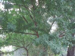 Acacia karroo : petit arbre très épineux des savanes sèches.
