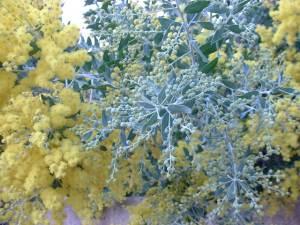 Acacia moutteana : très beau feuillage bleu gris et floraison précoce.