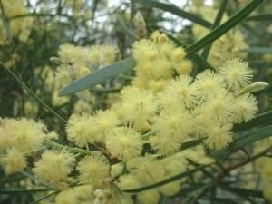 Acacia retinodes : mimosa des 4 saisons, à feuilles entières.