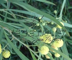 Acacia retinodes : feuilles entières ou phyllodes.