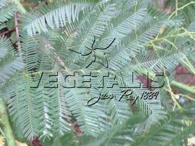 Acacia dealbata : détail d'une feuille composée bipennée.