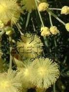 Fleurs en glomérules.