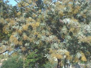Acacia baileyana.