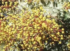 Acacia baileyana : branche en fleurs.