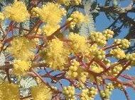 Acacia baileyana : grappe de fleurs.
