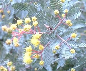 Acacia baileyana : détail des feuilles.