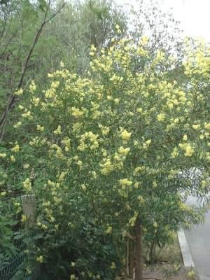 Acacia retinodes : arbuste sur tige.