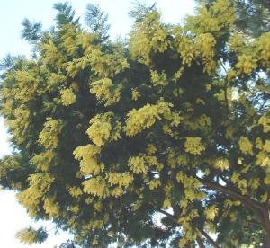 Acacia dealbata 'Mirandole'.
