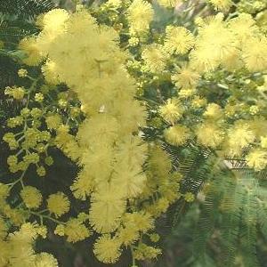 Acacia dealbata 'Mirandole' : détail des glomérules.