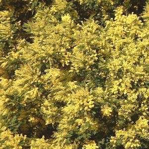 Acacia dealbata sp.