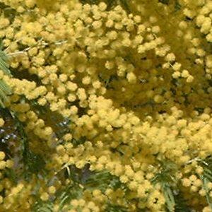 Acacia dealbata sp. : détail des grappes de glomérules.
