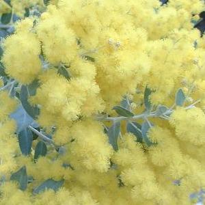 Acacia moutteana : détail des glomérules.