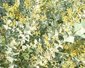 Acacia cultriformis.