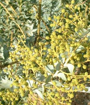 Acacia cultriformis : détail des glomérules et des feuilles glauques.