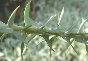 Acacia cultriformis : détail des feuilles triangulaires.