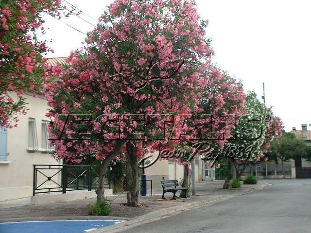 Nerium oleander vegetalis - Laurier tige en pot ...