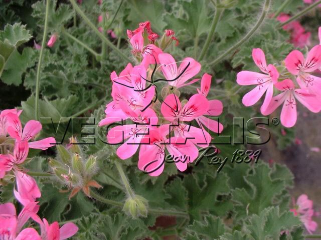pelargonium sp vegetalis. Black Bedroom Furniture Sets. Home Design Ideas