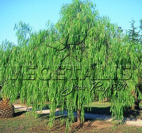 Schinus molle vegetalis - Arbre a croissance rapide et feuillage persistant ...