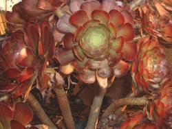 Aeonium arboreum var. atropurpureum.