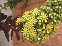 Hampe florale d'Aeonium atropurpureum.