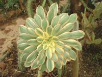 Aeonium 'Sunburst'.