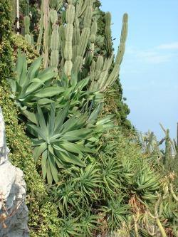 Rocaille de diverses plantes succulentes au jardin de Monaco.