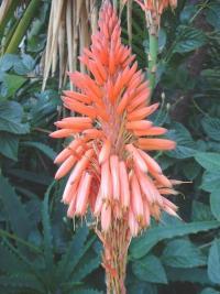 Aloe arborescens, floraison hivernale.